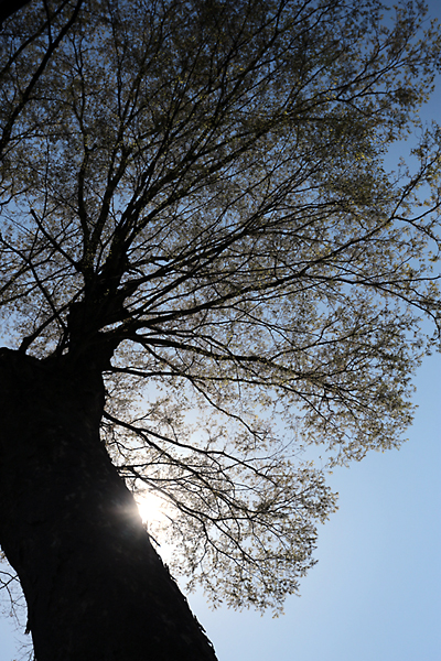 樹齢5~600年の大欅