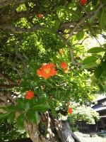 梅雨の晴れ間(3)~石榴(ざくろ)の花がきれいです
