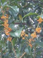 秋の香り~金木犀
