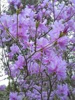花だより~紫つつじ