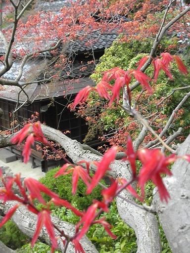 紅葉の芽吹きが綺麗です
