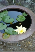 蓮の花とメダカ