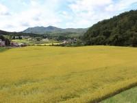 黄金色の田んぼ(岩手県遠野市)