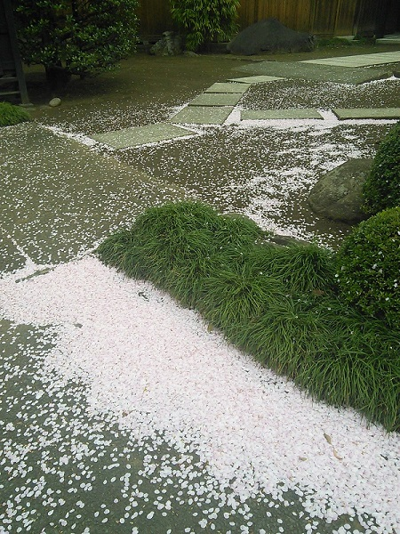 桜の吹き溜り