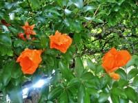 石榴(ざくろ)の花が鮮やかなオレンジ色に咲いています
