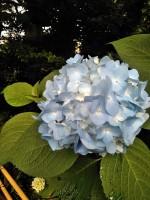 夏至に咲く紫陽花