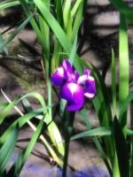 杜若(カキツバタ)が開花しました