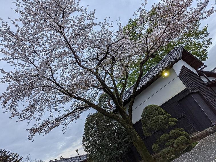 満開の桜(午後6時)