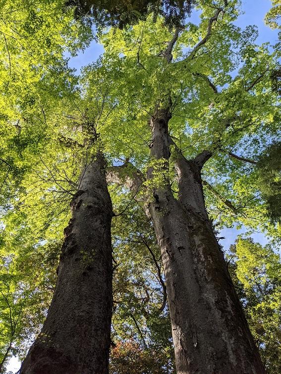 樹齢数百年の大欅